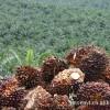 供应蒸馏棕榈油脂肪酸PFAD